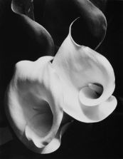 Two Callas, photo by Imogen Cunningham, 1929. Courtesy of the Syracuse University Art Collection.